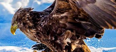 Nahaufnahme: Adler in scharfer 8K Qualität