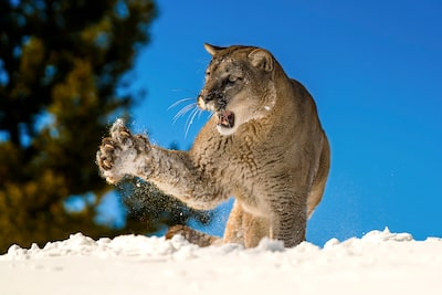 suha-derbent-sony-alpha-7RIII-majestic-snow-cat-raising-paw-in-snow