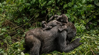 suha-derbent-sony-alpha-7RII-baby-gorilla-lying-on-mothers-back
