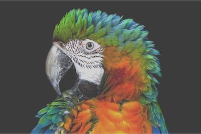 Detail eines Papageis auf Edge LCD