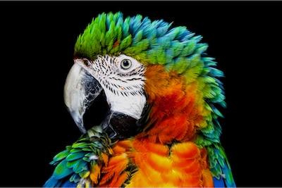 Detail eines Papageis auf herkömmlichem OLED