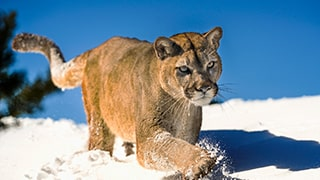 suha-derbent-sony-alpha-7RIII-majestic-snow-cat-prowling-through-snow